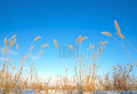 Photo for Ears Of Wheat - Royalty Free Image