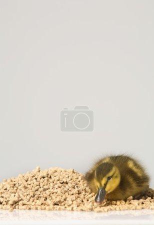 Duckling Sitting On Feed