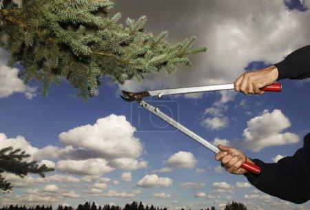 Photo pour Arbre de pin pour le détourage arboriste - image libre de droit
