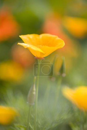 Photo pour Fleurs de pavot - image libre de droit