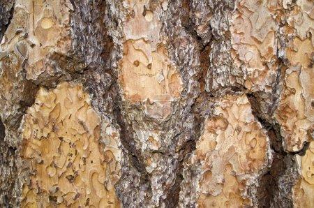 Photo pour Écorce d'arbre - image libre de droit