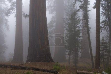 Photo pour Parc national de Sequoia, Californie, États-Unis, forêt avec brouillard - image libre de droit