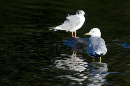 Lake Of The Woods, Ontario, Canada. Two Ring-Billed Gulls Standing In The Water