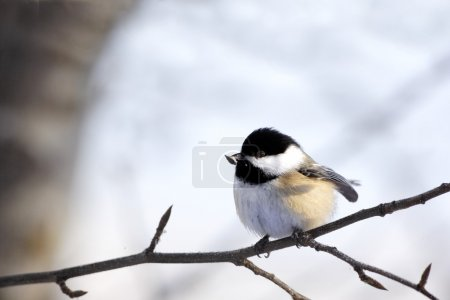 Black-Capped Chickadee, Poecile Atricapillus, Bird Perched On A Branch