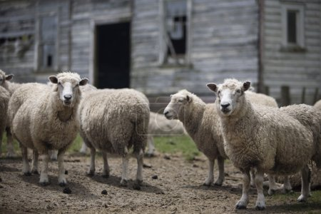 Sheep In Front Of Old Building