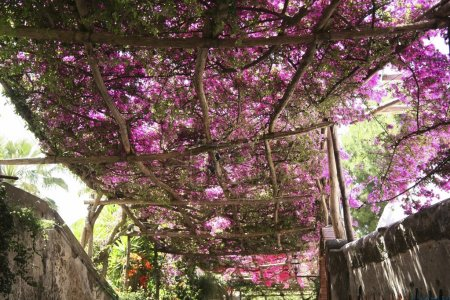 Flowering Bougainvillea Trees