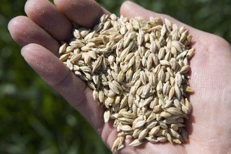 Hand Full Of Winter Wheat. Alberta, Canada