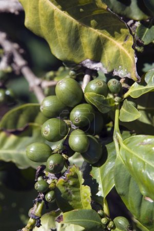 Coffee Plant (Coffea), Kauai, Hawaii, Usa