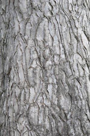 Bark Of An Ornamental Tree.