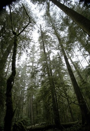 Photo pour Cathedral Grove Dans le parc provincial Macmillan - image libre de droit