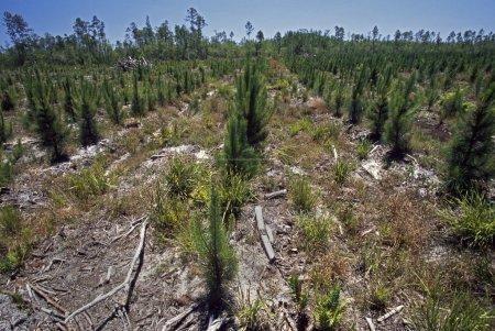 Photo pour Rangées De Petits Pins Dans La Plantation Forestière - image libre de droit