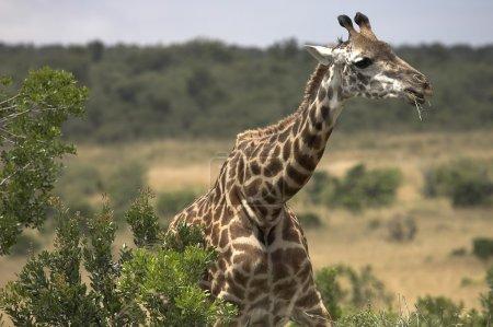 Rothschild Giraffe Eating Acacia Tree