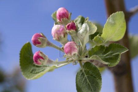 Photo pour Gemini Apple Blossoms Pas encore ouvert - image libre de droit