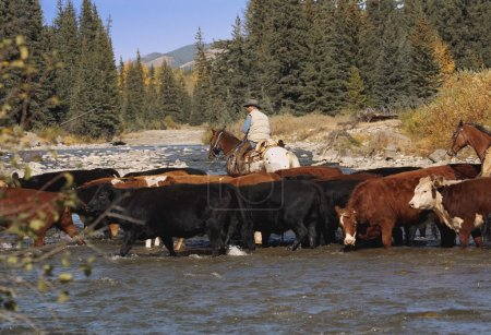 Shepherd on horseback with cows on watering