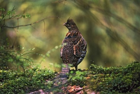 Ruffed Grouse On Mossy Log In Rainforest