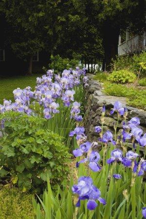 Iris In A Garden