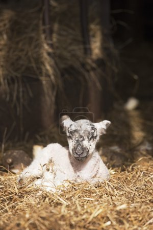 Lamb Laying In The Straw