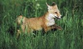 Young Red Fox (Vulpes Vulpes) Running Through Grass