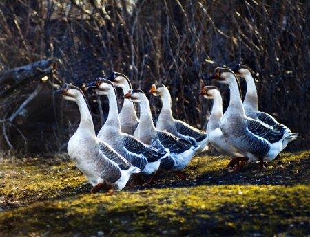 Photo pour Oies grises rentrant chez elles - image libre de droit