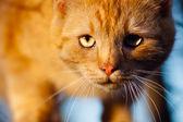 červená kočka