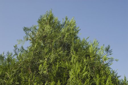 Low angle view of a thuja