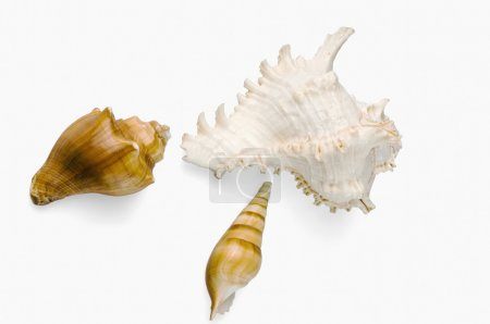 Photo for Close-up of conch shells - Royalty Free Image