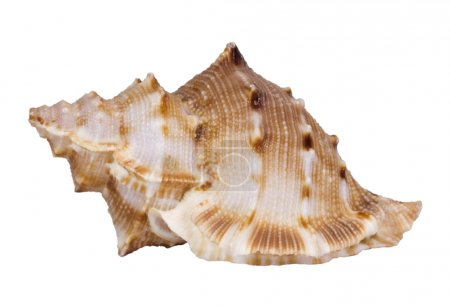 Photo for Close-up of a conch shell - Royalty Free Image
