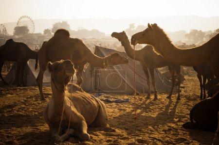 Camels at Pushkar Camel Fair