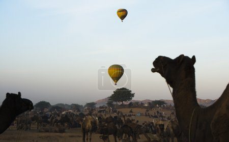 Camels with hot air balloons in the background in ...