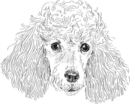 Poodle head isolated in vector