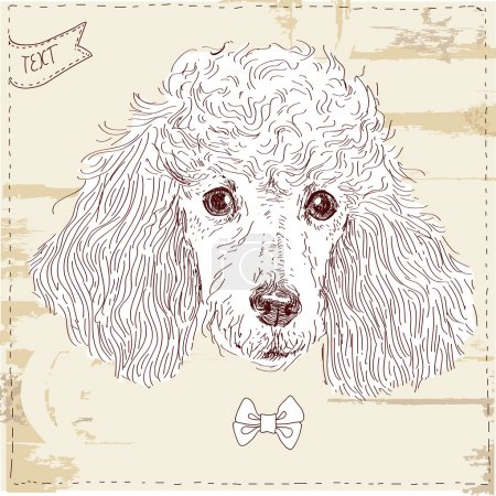 Poodle head in vector, dog in vintage style on grunge background