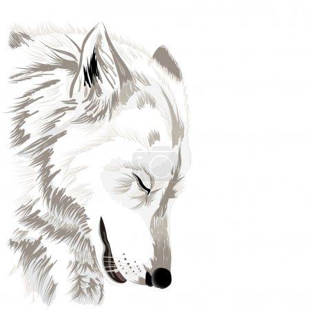 Illustration pour Croquis du visage d'un loup, sur fond blanc - image libre de droit