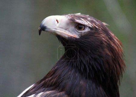 Wedge-Tailed Eagle Close-up