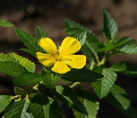 Photo pour Rose des armoises (Turnera subulata G.E.) M. Smith ) - image libre de droit