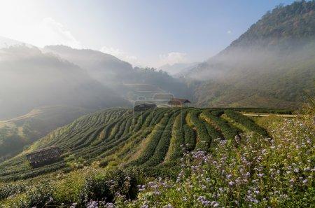 Tea field when sunrise with fog, Doi angkhang, Chiangmai provinc