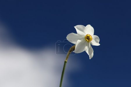 Narcissus flower with blue background