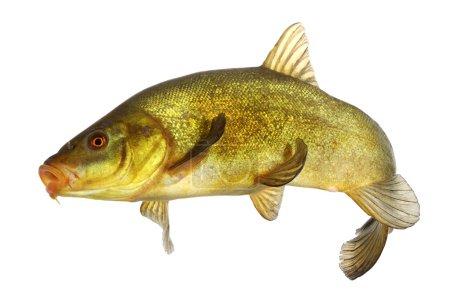 Carp, tench, colored fish swimming free...