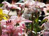 Růžové lilie