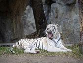 Bílý tygr bengálský