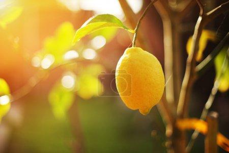 Photo pour Citron mûr accroché sur la branche de l'arbre au soleil. Gros plan, peu profond DOF . - image libre de droit