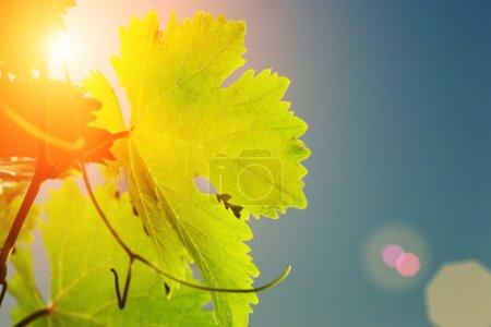 Sun shining through grapevine leaves