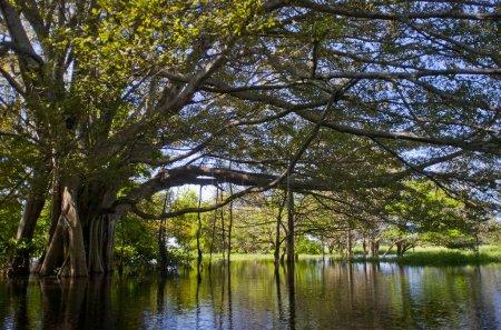 Photo pour Mangrove située sur le fleuve Amazone au Brésil. - image libre de droit