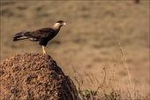 Brasilianische Sperber auf Termite Mound – Serra da cana