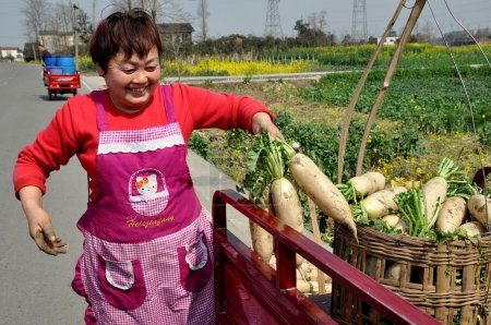 Photo for Pengzhou, China:  Chinese woman loads freshly dug white Daikon  radishes into wicker baskets on a small truck at her Sichuan province farm - Royalty Free Image