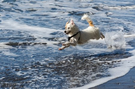 Dog running in the waves