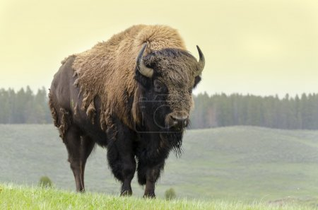Bison in grasslands of Yellowstone National Park i...