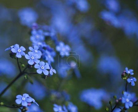 Photo pour Fond de printemps avec les fleurs bleues et l'herbe verte. - image libre de droit