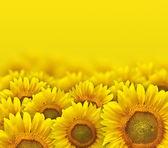 Slunečnicové okvětní lístky