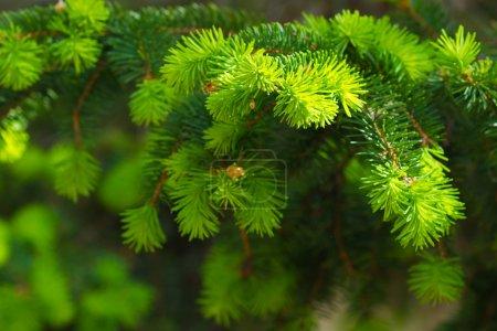 Photo pour Nouvelles branches d'arbre de pin - image libre de droit