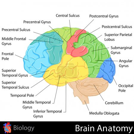 Illustration for Easy to edit vector illustration of Brain Anatomy diagram - Royalty Free Image